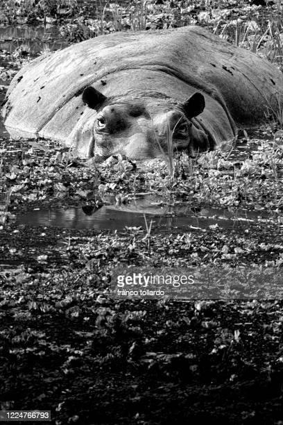eyes of hyppopotamus - zambezi river stock pictures, royalty-free photos & images