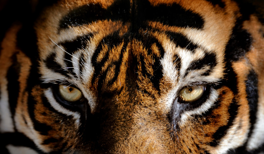 eyes of the tiger 171587129