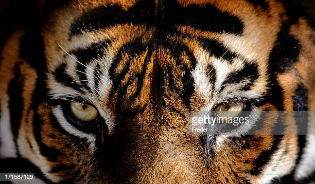 eyes of the tiger - animal eye stock pictures, royalty-free photos & images