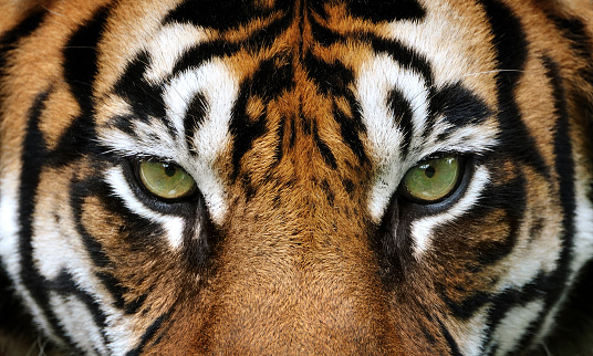 eyes of the tiger 490989354