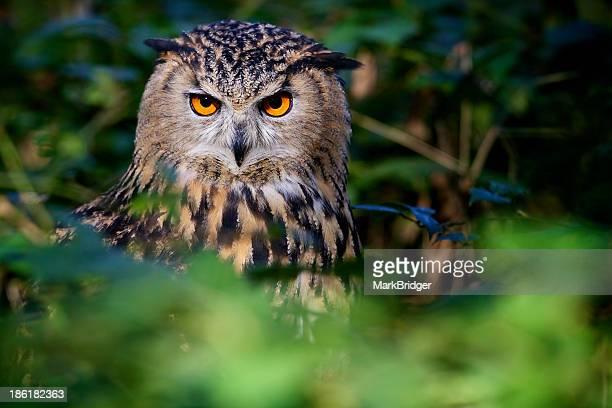 eyes - hibou grand duc photos et images de collection