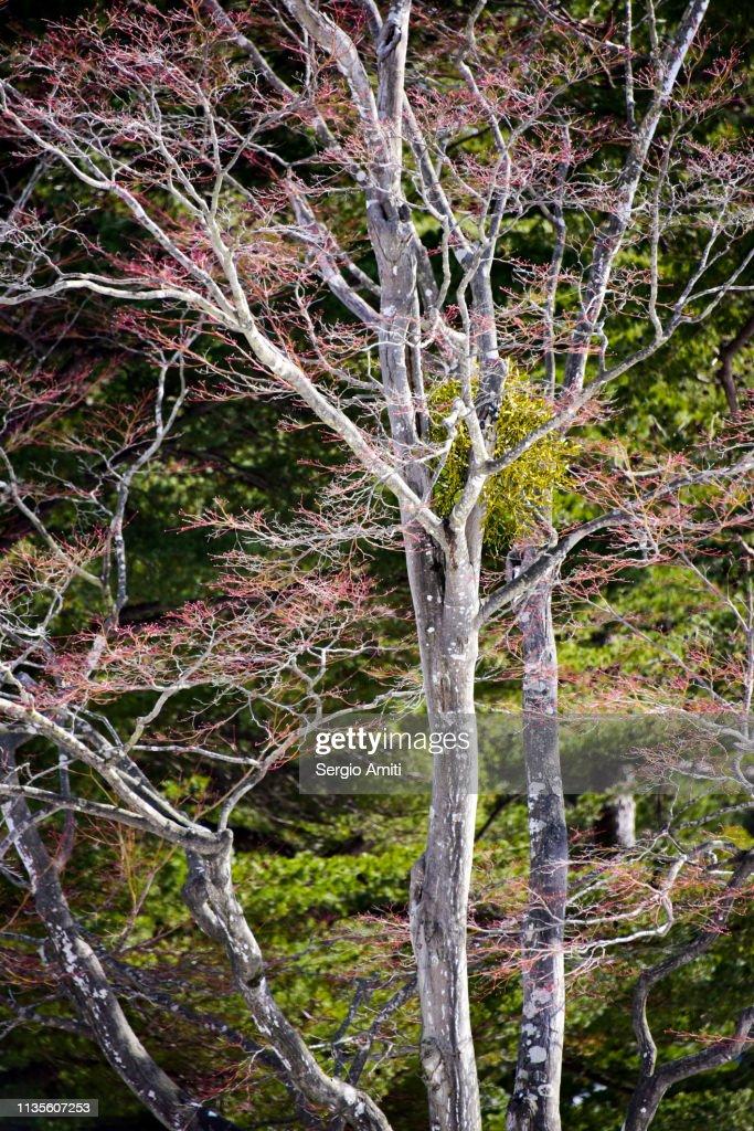 Ezoyama Zakura cherry trees : Stock Photo