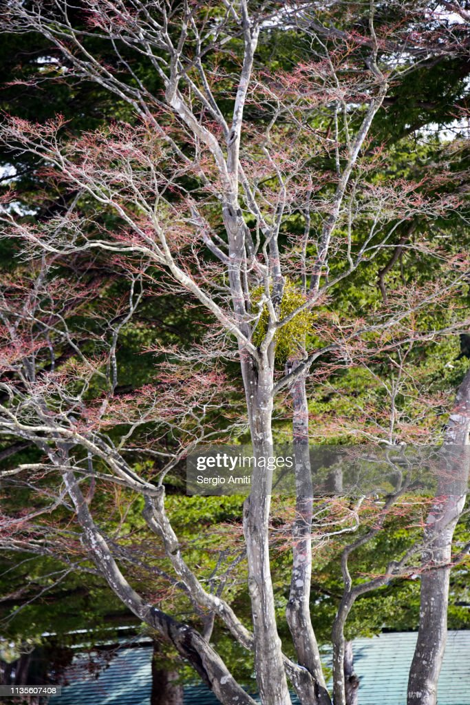 Ezoyama Zakura cherry trees : Stock Photo