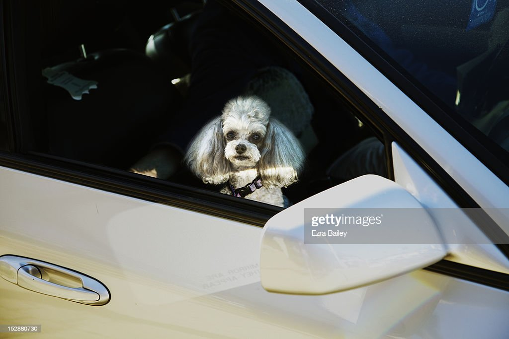 pet dog in a car : Stock Photo