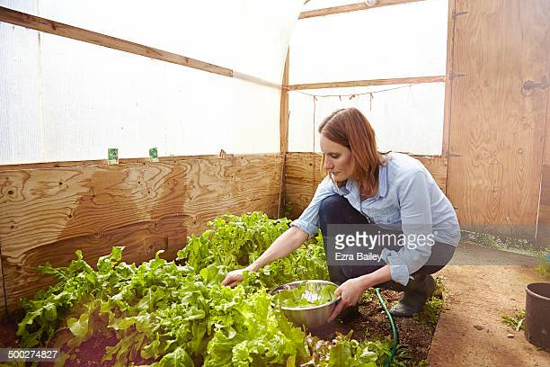 Woman picking homegrown vegetables in a greenhouse