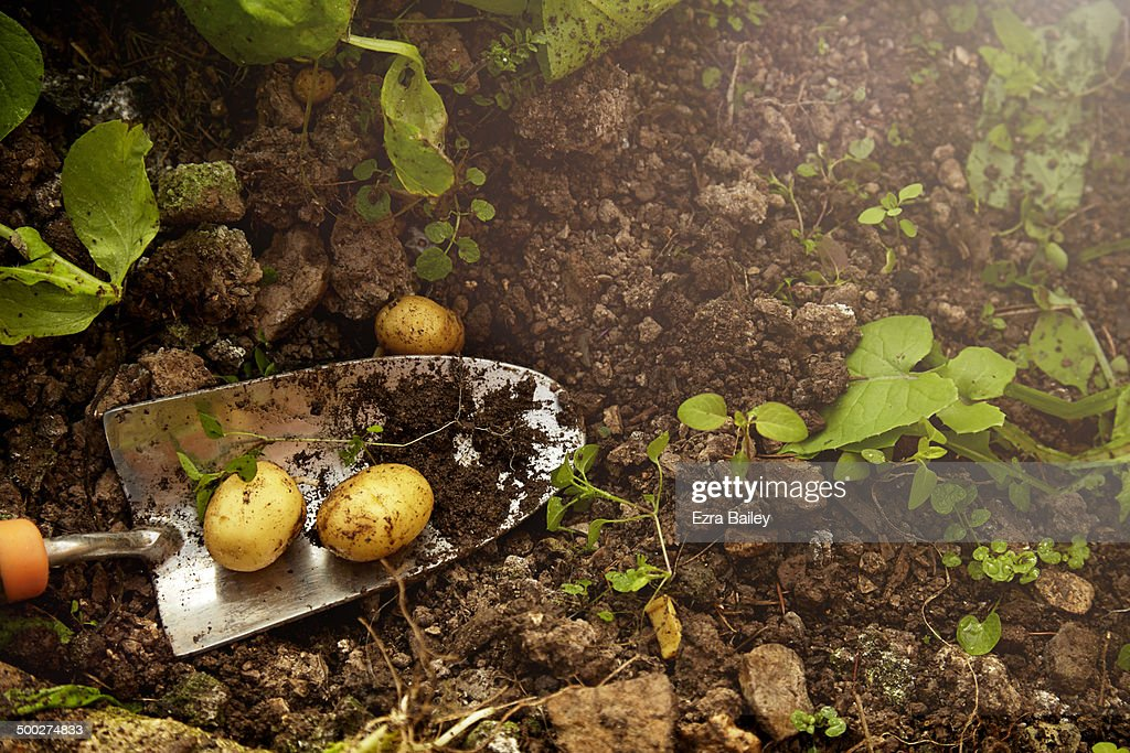 Home grown potatoes from a greenhouse. : Stock Photo