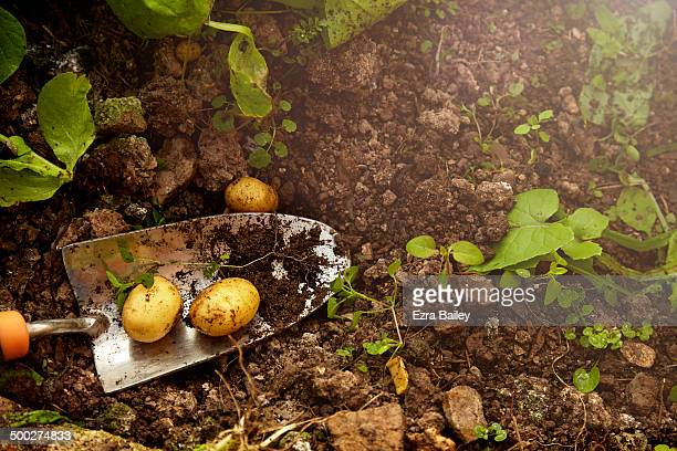 home grown potatoes from a greenhouse. - organic stock pictures, royalty-free photos & images