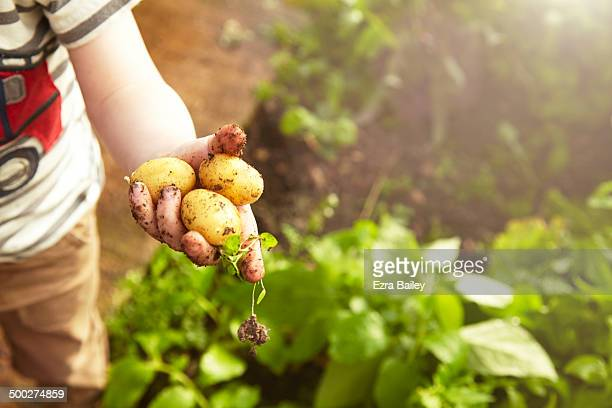 young boy holding home grown potatoes. - cultivated stock pictures, royalty-free photos & images