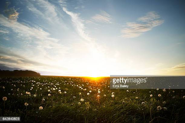 Sunset across a field of dandelion seed heads