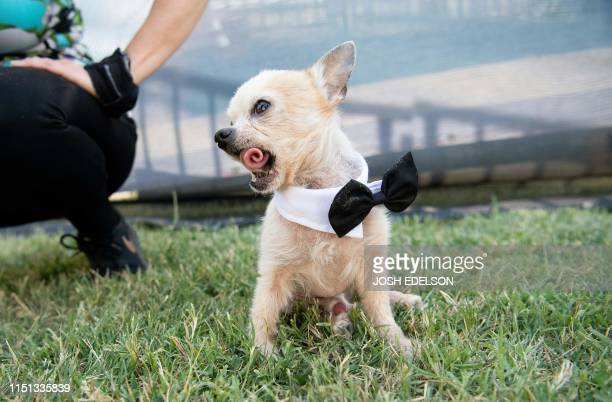 Fabio a 13yearold a teacup Chihuahua curls his tongue at the World's Ugliest Dog Competition in Petaluma California on June 21 2019