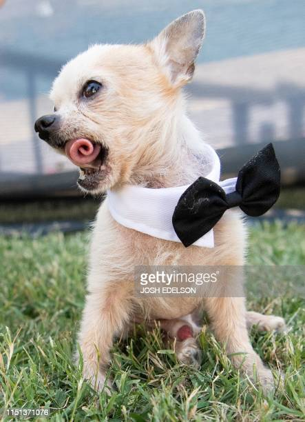 Fabio a 13yearold a teacup Chihuahua curls his tongue at the World's Ugliest Dog Competition in Petaluma California on June 21 2019 / ALTERNATIVE CROP