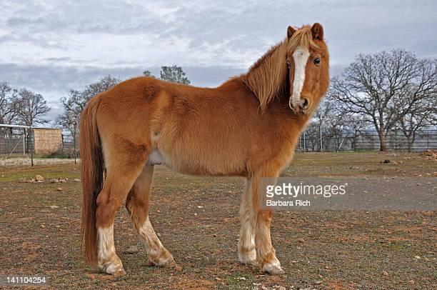 Fabio welch hackney pony