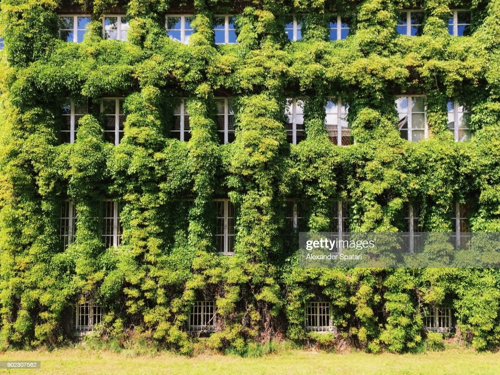 Facade of a building covered with ivy : Stock-Foto