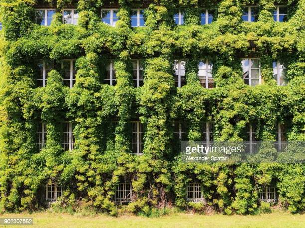 facade of a building covered with ivy - grün stock-fotos und bilder