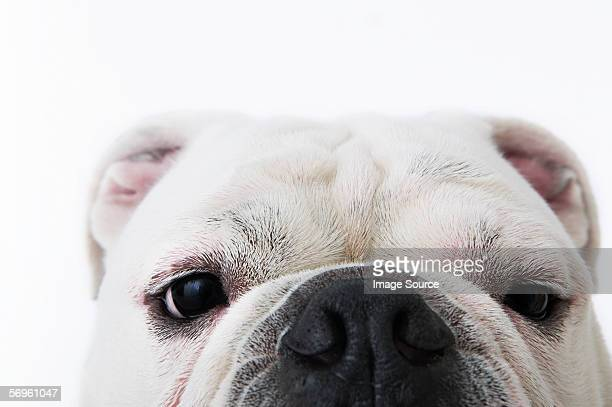 face of a bulldog - animal nose stock pictures, royalty-free photos & images
