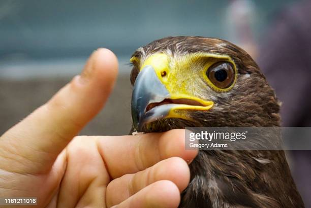face of a domesticated hawk - eagles london stock pictures, royalty-free photos & images