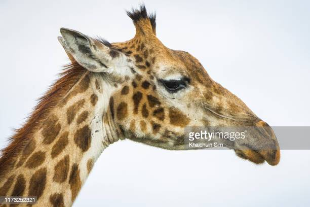 face of a giraffe - giraffe stock pictures, royalty-free photos & images