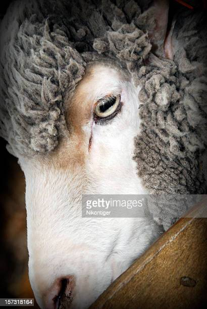 Face of a Lamb