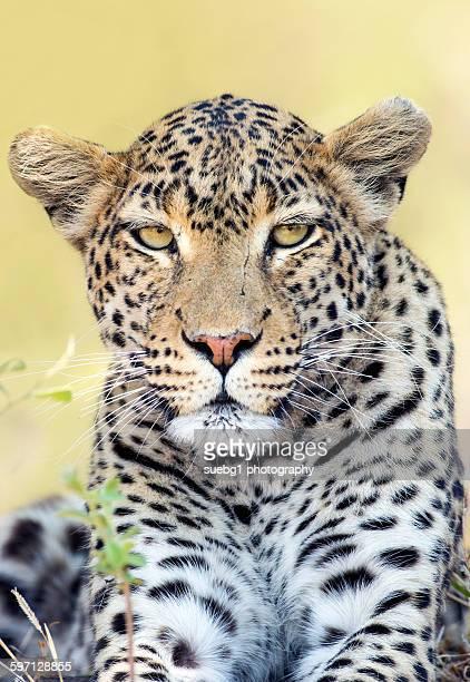 Face of a leopard(panthers pardus)
