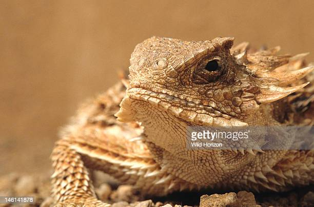 Face of a regal horned lizard Phrynosoma solare Sonoran Desert Tucson Mountains Tucson Arizona USA Photographed under controlled conditions