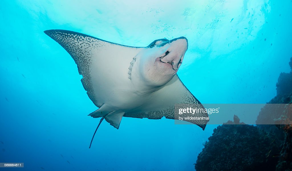 Face of an eagle ray : Stock Photo