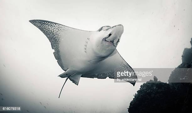Face Of An Eagle Ray