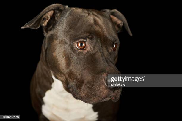 face of beautiful american stafford dog - staffordshire bull terrier stock pictures, royalty-free photos & images