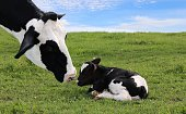 Face of black and white cow bonding with her new baby