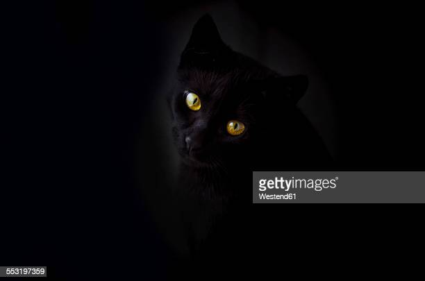 Face of black cat in front of black background