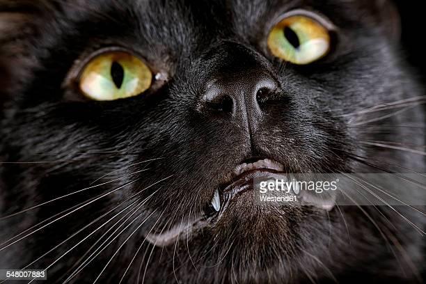 Face of black cat