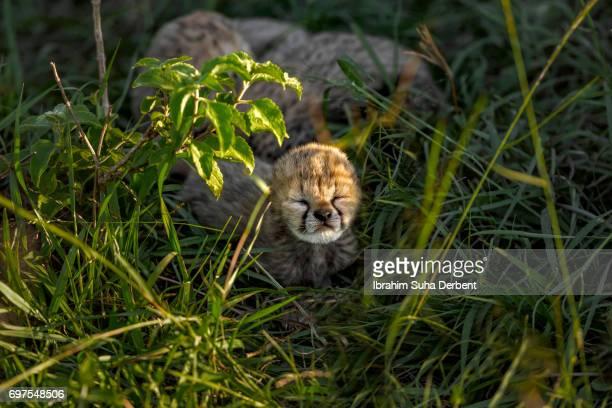 Face of cheetah cub