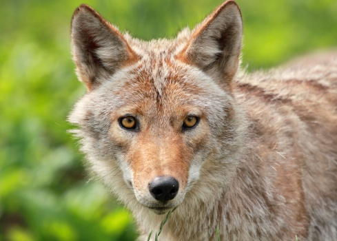 face of coyote 464354831