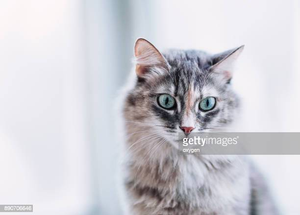 Face of Gray long hair domestic Cat
