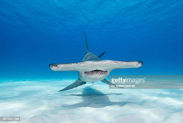 face on with a hammer - hammerhead shark stock photos and pictures