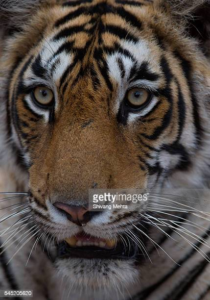 Face shot of Royal Bengal Tiger