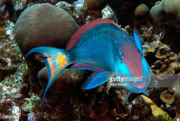 Face shot of stoplight parrotfish looking like he is smiling Sparisoma viride Curacao Netherlands Antilles