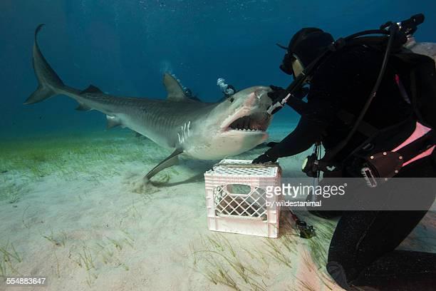 face to face - tiger shark - fotografias e filmes do acervo