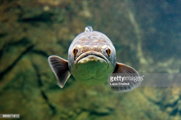 face to face - largemouth bass stock pictures, royalty-free photos & images