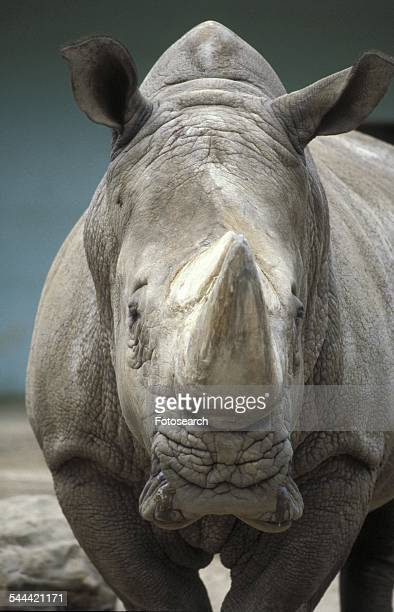 Face to face with a rhinoceros