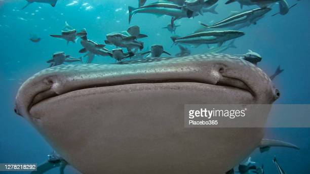 face to face with endangered species whale shark - threatened species stock pictures, royalty-free photos & images