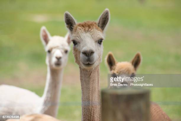 Faces of Alpaca
