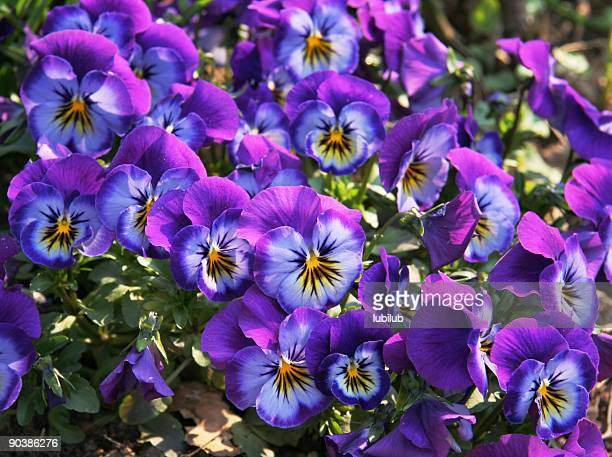 Faces of beautiful purple, blue and yellow pansy flowers