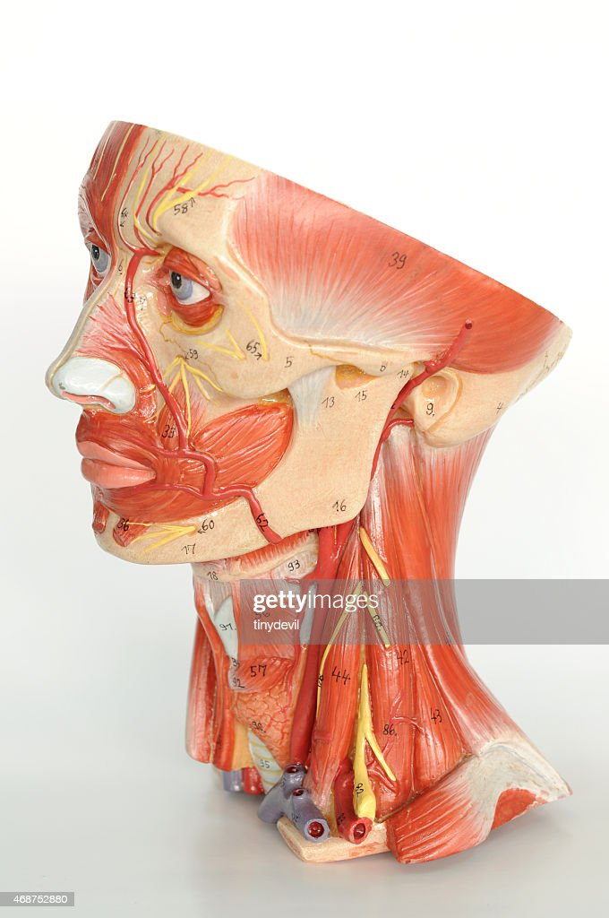 Facial Muscle Anatomy Stock Photo Getty Images