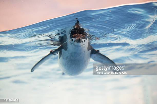 facing the front - chinstrap penguin stock pictures, royalty-free photos & images