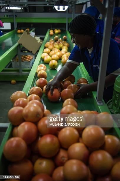A factory employee checks grapefruits coming from a farm which was successfully claimed back by the mainly black community and then leased to the...