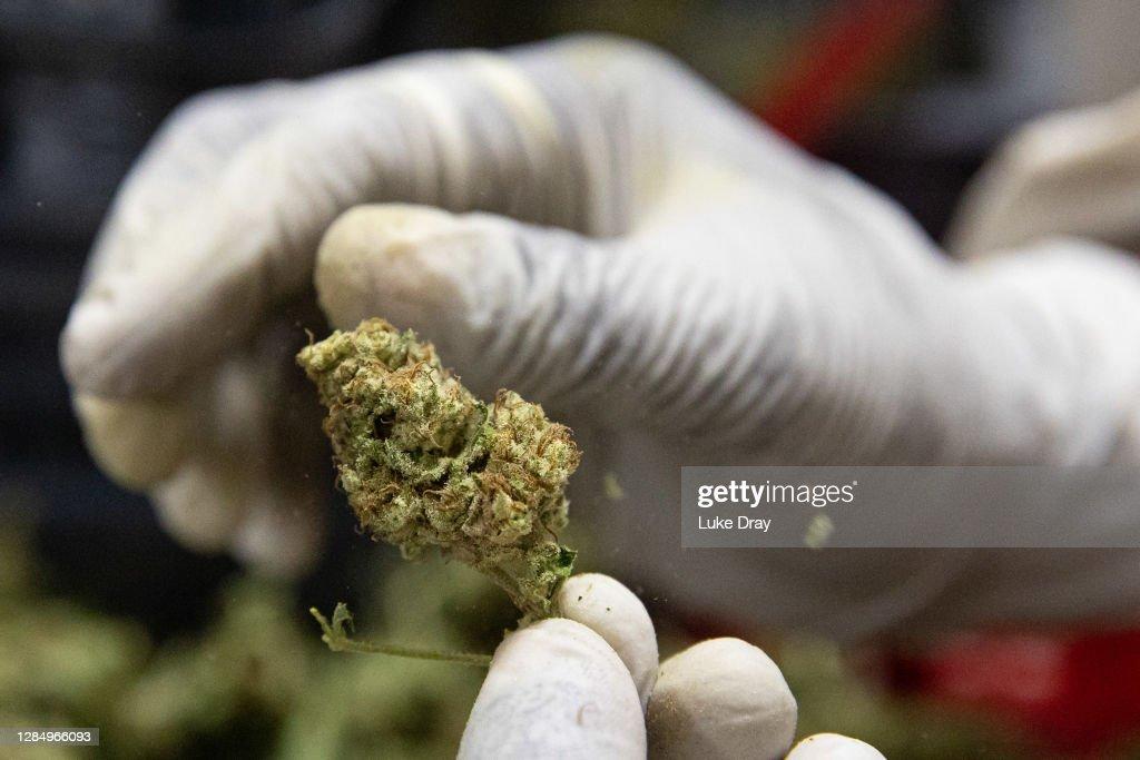 Uganda Sows Seeds Of Medical Marijuana Industry : News Photo