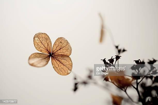 Faded Hydrangea flower