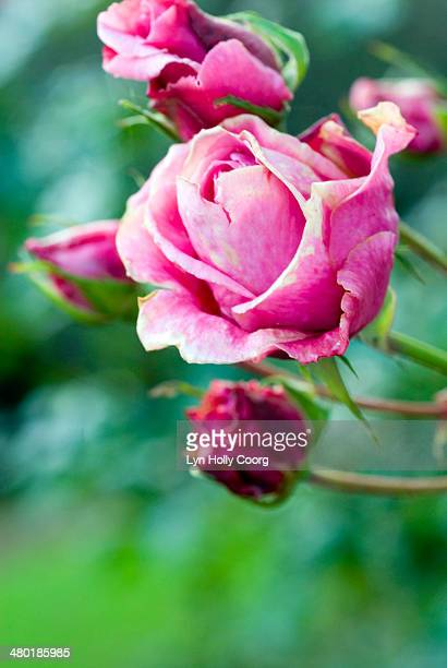 faded pink rose flower rosaceae with buds - lyn holly coorg stock photos and pictures