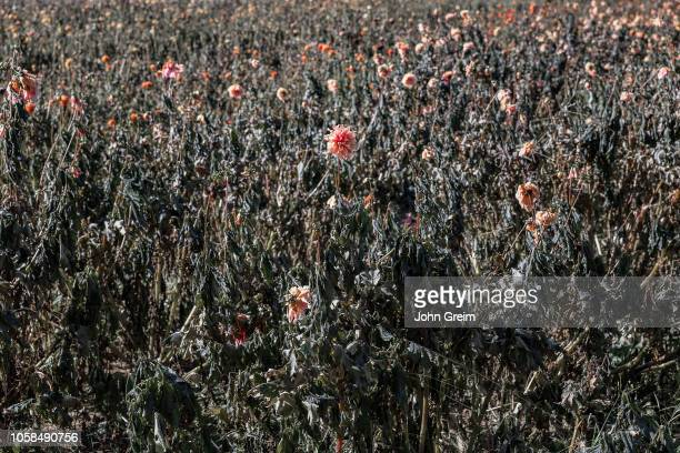 Fading field of Chrysanthemum flowers