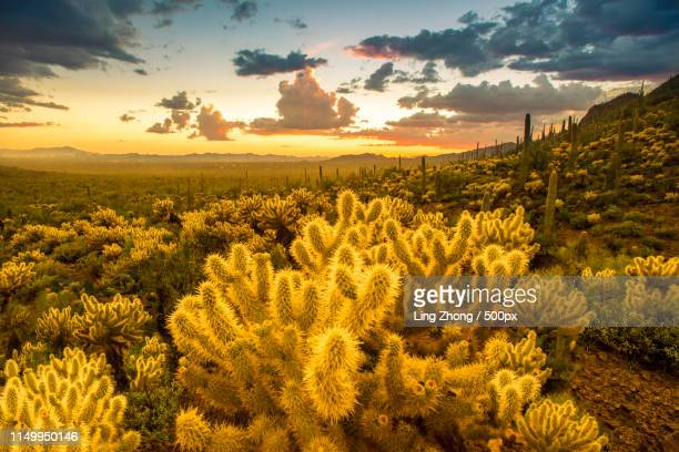 fading glow - saguaro cactus stock pictures, royalty-free photos & images